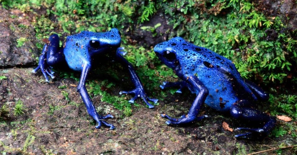 Sapo-flecha azul no Suriname. Esses sapos são mais coloridos do mundo, mas suas peles escondem venenos poderosos