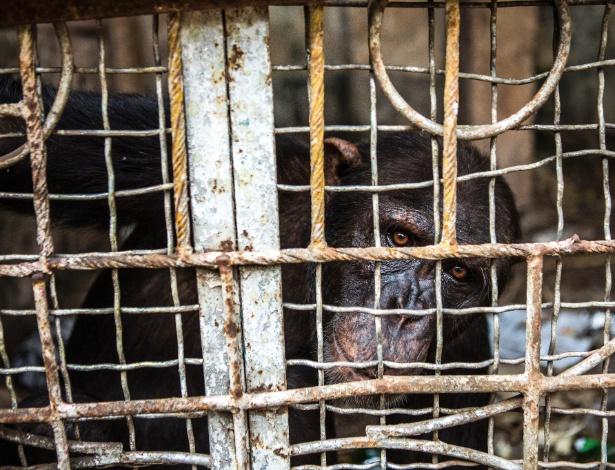 Antoine, um chipanzé macho, que foi mantido preso por anos em no hotel Banghazi, em Mbandaka, no Congo