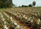 Produtores do PR precisam de jornal impresso para enrolar os abacaxis - Divulgação