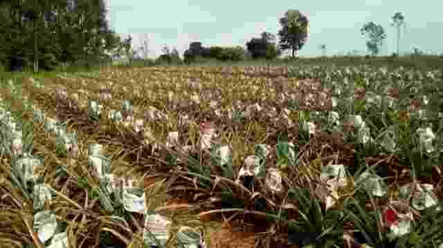 Produtores de abacaxis no PR - Divulgação