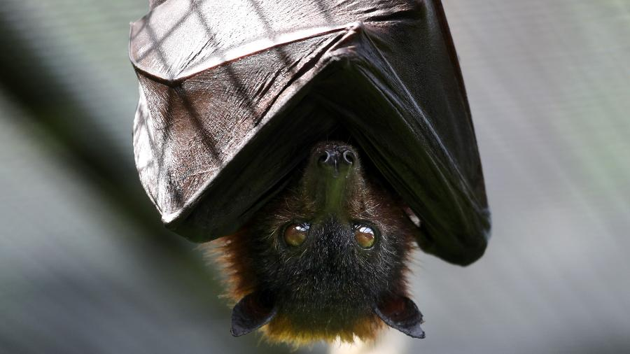 Vírus pode ser transmitido por morcego - Getty Images