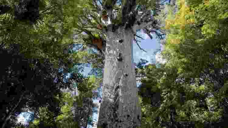 Árvores kauri da Nova Zelândia - Getty Images - Getty Images