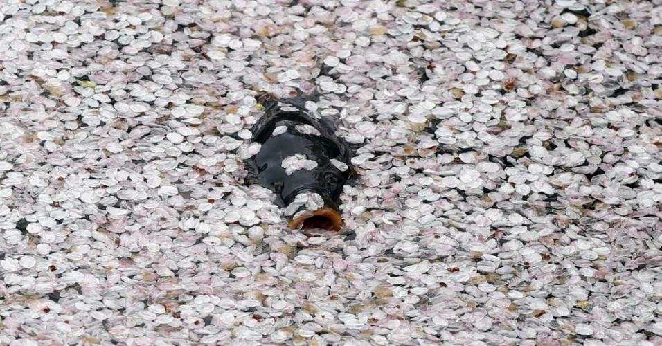 8.abr.2016 - Uma carpa nada coberta de pétalas de flores de cerejeiras em um rio em Tóquio, no Japão
