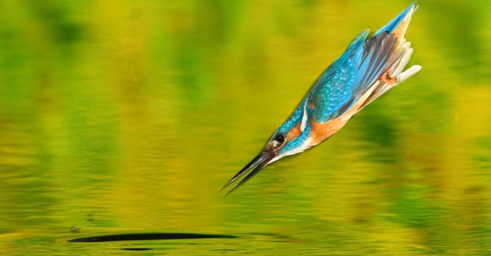 Um martim-pescador mergulha em direção à água na Romênia. Como o pássaro depende de água limpa para pescar, sua presença pode indicar qualidade do ecossistema