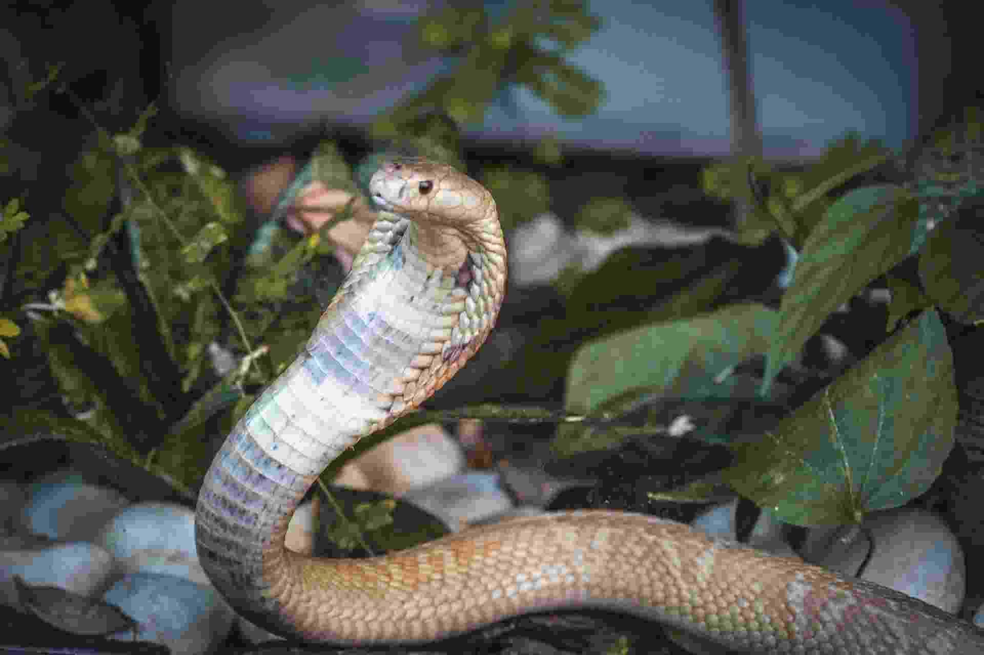 A cobra naja que picou o estudante de veterinária Pedro Henrique Santos Krambeck Lehmkul, de 22 anos, na última terça-feira, ganhou hoje um ensaio fotográfico no Zoológico de Brasília - Ivan Mattos/Zoológico de Brasília