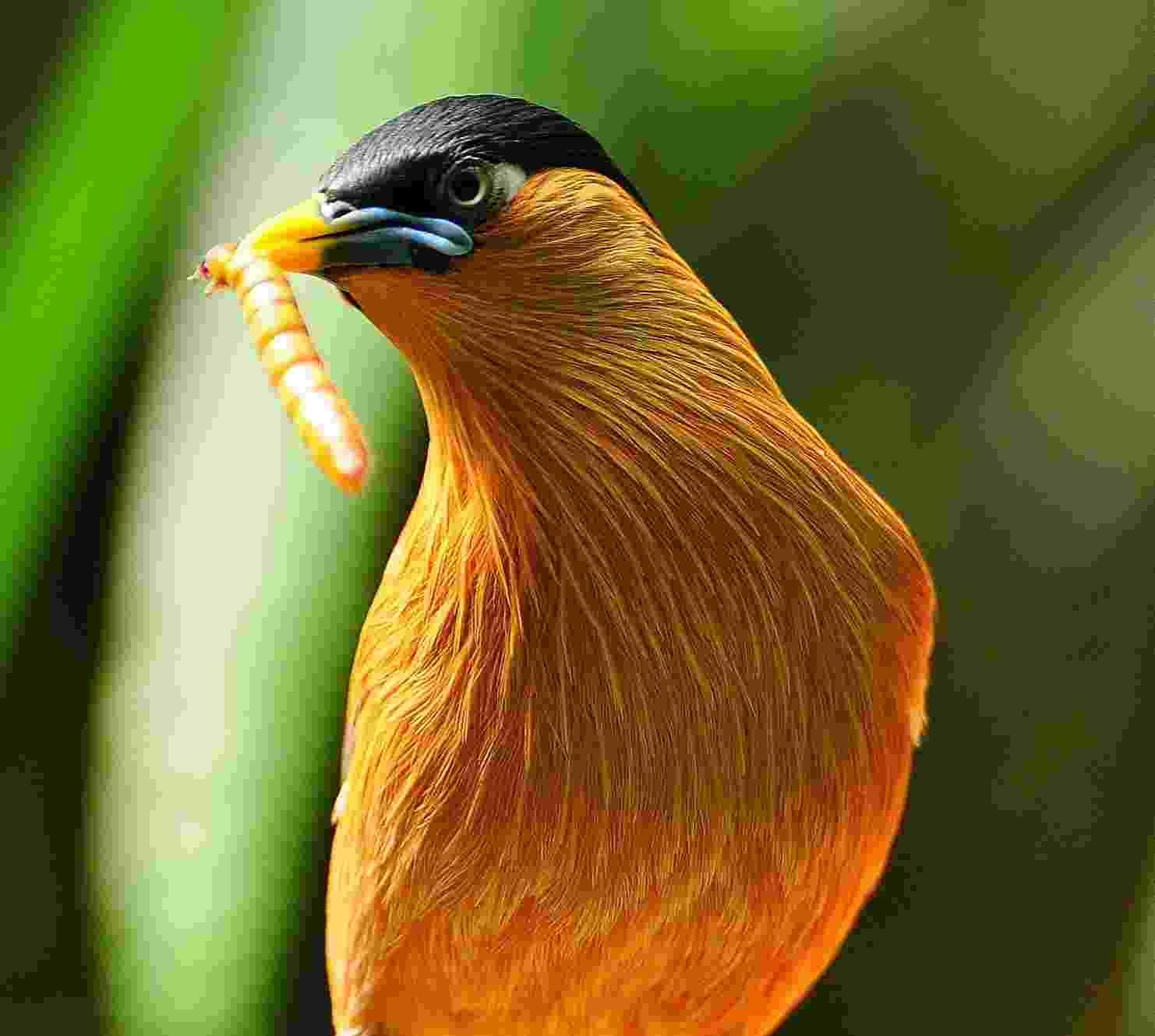 Ave carrega no bico um tenébrio, um dos insetos vivos vendidos pela empresa Safari para alimentação de pets - Thiago Souto/Divulgação