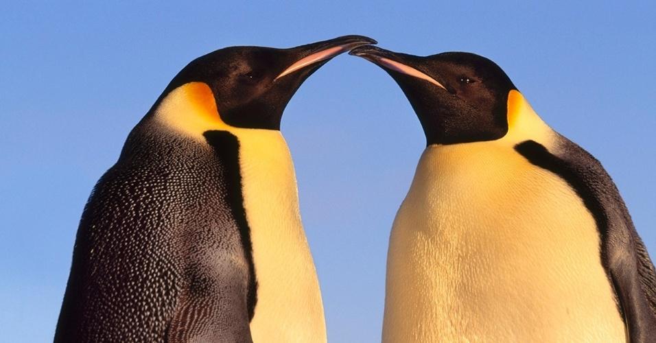 6.set.2016  - Pinguins-imperadores passeiam na Antártida. Durante a época de reprodução, os pinguins, que geralmente encontram um parceiro por ano, cortejam o companheiros com maneios de cabeça, bicadas e dancinha