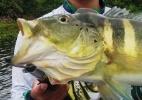 Especialistas veem ameaça a peixes do Pantanal com expansão do tucunaré (Foto: Bruno Maurício de Brito Paiva)