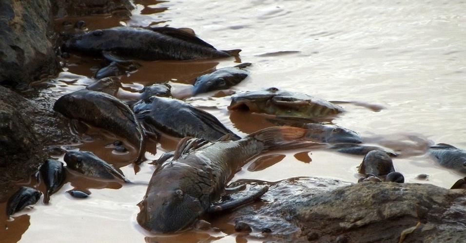 12.nov.2015 - Grandes cardumes mortos boiando no rio de lama que virou o rio Doce em Governador Valadares (MG). Os peixes morreram com a chegada da lama com rejeitos de minério de ferro liberada pelo rompimento de barragens em Mariana (MG)