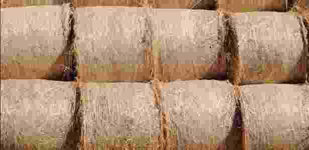 Maconha ressecada e conservada como feno - South Hemp Tecno/Divulgação
