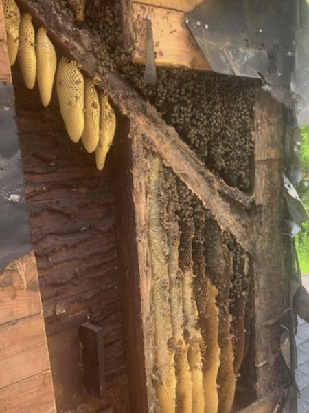 O apicultor chamado pelo casal encontrou três colônias com 450 mil abelhas vivendo dentro das paredes da casa - Arquivo Pessoal/Allan Lattanzi