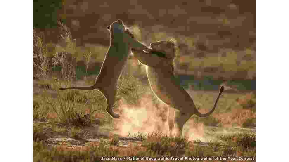 """10.mai.2016 - """"Fotografei esses leões na contraluz para captar a poeira iluminada e toda a ação"""", diz Jaco Marx. """"Os leões na verdade estavam brincando e isso deu margem a uma interação fotográfica"""" - BBC"""