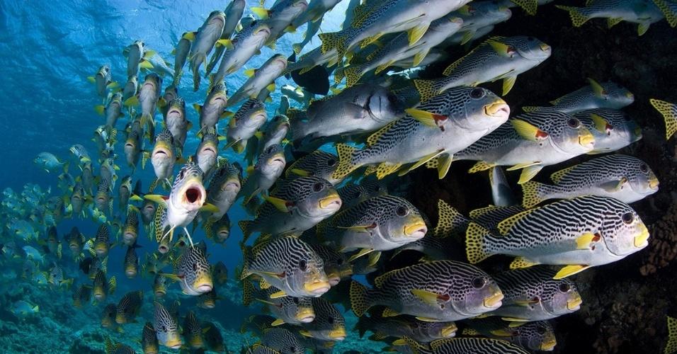 23.ago.2016 - Um cardume de Plectorhinchus lineatus na Grande Barreira de Corais na costa australiana. O local abriga mais de 1.500 espécies de peixes, cerca de 10% de todas as espécies do mundo