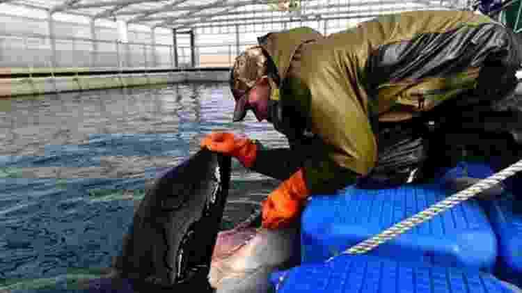 Cuidador examina orca na região da baía de Srednyaya - Getty Images/BBC