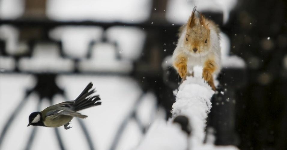 12.jan.2016 - Um esquilo corre em cima de uma cerca e tenta alcançar um passarinho em Almaty, no Cazaquistão