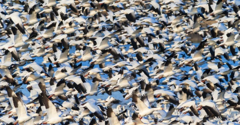 Voando para o sul no inverno. A grande migração do ganso-das-neves sobre o rio Saint Francis, em Quebec, Canadá. Há mais desses animais na América do Norte do que qualquer outra ave aquática
