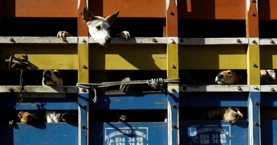 29.abr.2016 - Cães abandonados aparecem entre as grades de um caminhão enquanto são levados para o veterinário, que realizará a castração e esterilização. Após os procedimentos médicos, os animais serão deixados em um santuário de cachorros na Costa Rica, o território de Zaguates. O abrigo possui 152 hectares para receber e cuidas dos animais