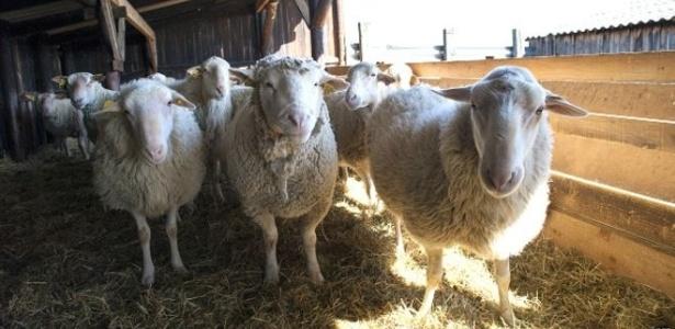 Filhotes de ovelhas com menos de 45 dias de vida sofreram maus tratos no abate