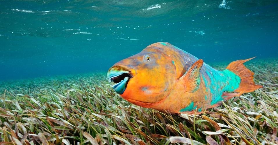 10.nov.2015 - Um peixe-papagaio nada pela reserva marinha de Hol Chan, Belize. A espécie scarus guacamaia, o maior peixe herbívoro do Atlântico, passa por todo recife mesoamericano durante a vida. Enquanto jovem, procura proteção entre as raízes do mangue. Quando adulto, faz do recife sua casa, eventualmente de olho nos velhos predadores