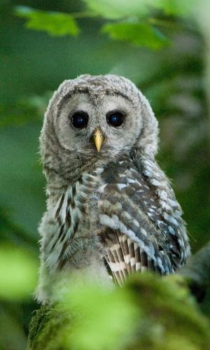 15.fev.2016 - Uma jovem coruja listrada empoleira-se numa árvore. Apesar de a ave ter um canto alto e facilmente identificável, pode viajar pelas florestas sem ser vista ou ouvida. A imagem foi registrada no Canadá
