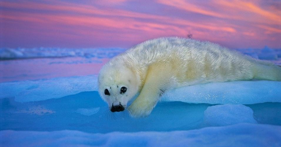 24.jun.2016 - Uma foca-harpa recém-nascida descansa sob a luz colorida do crepúsculo. A pele dos bebês ajuda na proteção contra predadores e os mantém numa temperatura confortável até que ganhem gordura