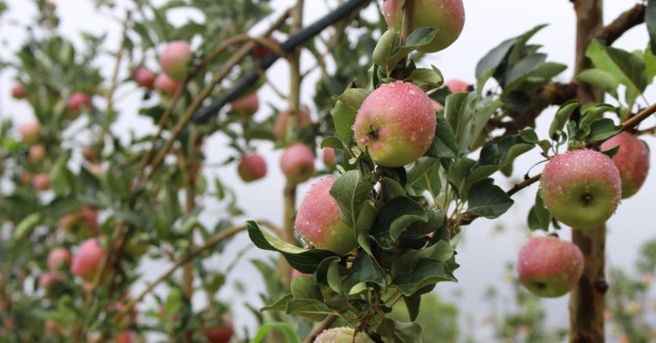 Colheita da primeira safra de maçãs da Fazenda Realeza, em Cristalina (GO), começa neste mês
