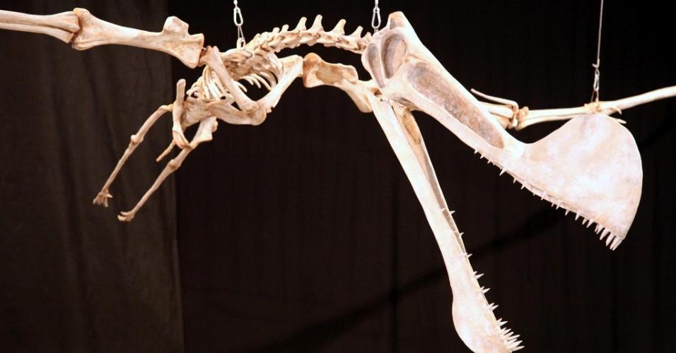 Esqueleto construído de um Pterossauro espécie Tropeognathus cf. mesembrinus, encontrado em escavação controlada, na Chapada do Araripe, entre os estados do Ceará, Pernambuco e Piauí.