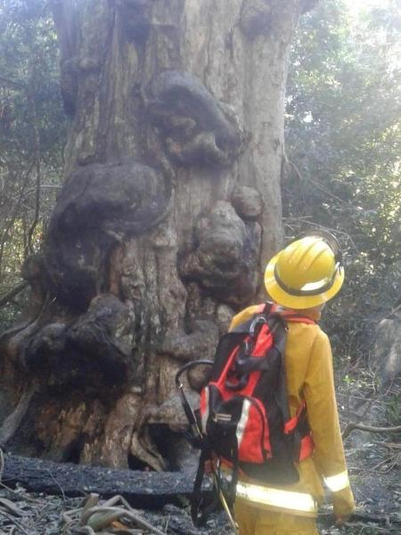 Adolescente incendeia árvore mais antiga de província ao tentar fazer mate - reprodução/Canal 12/Clarín