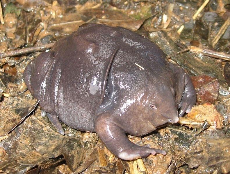 Esse sapo roxo é típico da Índia. O Nasikabatrachus sahyadrensis é uma espécie de anfíbio cujos membros têm cor violeta e seu comprimento chega a apenas 7 cm