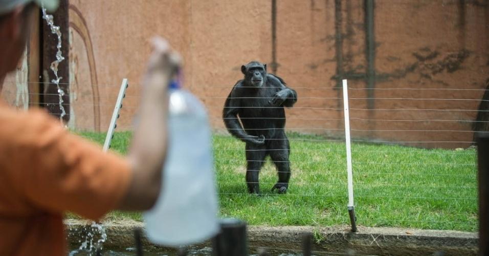 13.jan.2016 - Chimpanzé se anima ao ver cuidador com garrafa de água em dia de altas temperaturas no zoológico de Joanesburgo, na África do Sul