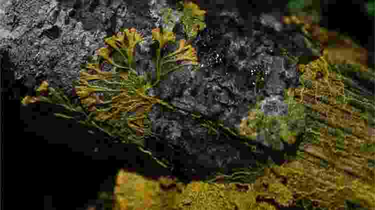 O 'Blob' é geralmente encontrado em locais úmidos e frescos, como a casca de algumas árvores - AFP