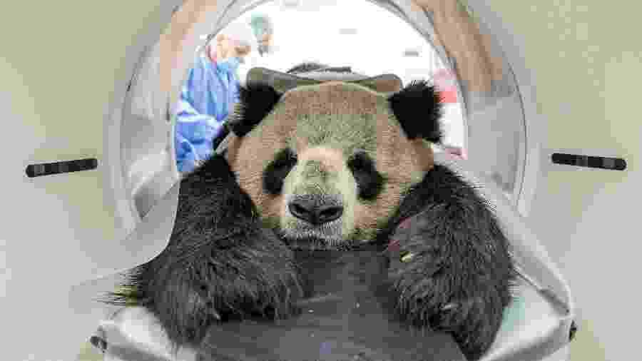 O panda Jiao Qing, do zoo de Berlim, foi anestesiado para ser submetido a uma sessão de tomografia computadorizada - Zoo Berlin/AFP