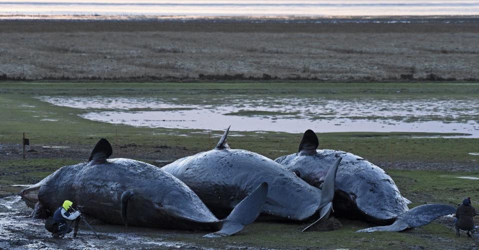 4.jan.2016 - Homem tira fotos dos corpos de três baleias cachalotes encontradas mortas no dique de Kaiser Wilhelm Koog, na costa norte da Alemanha