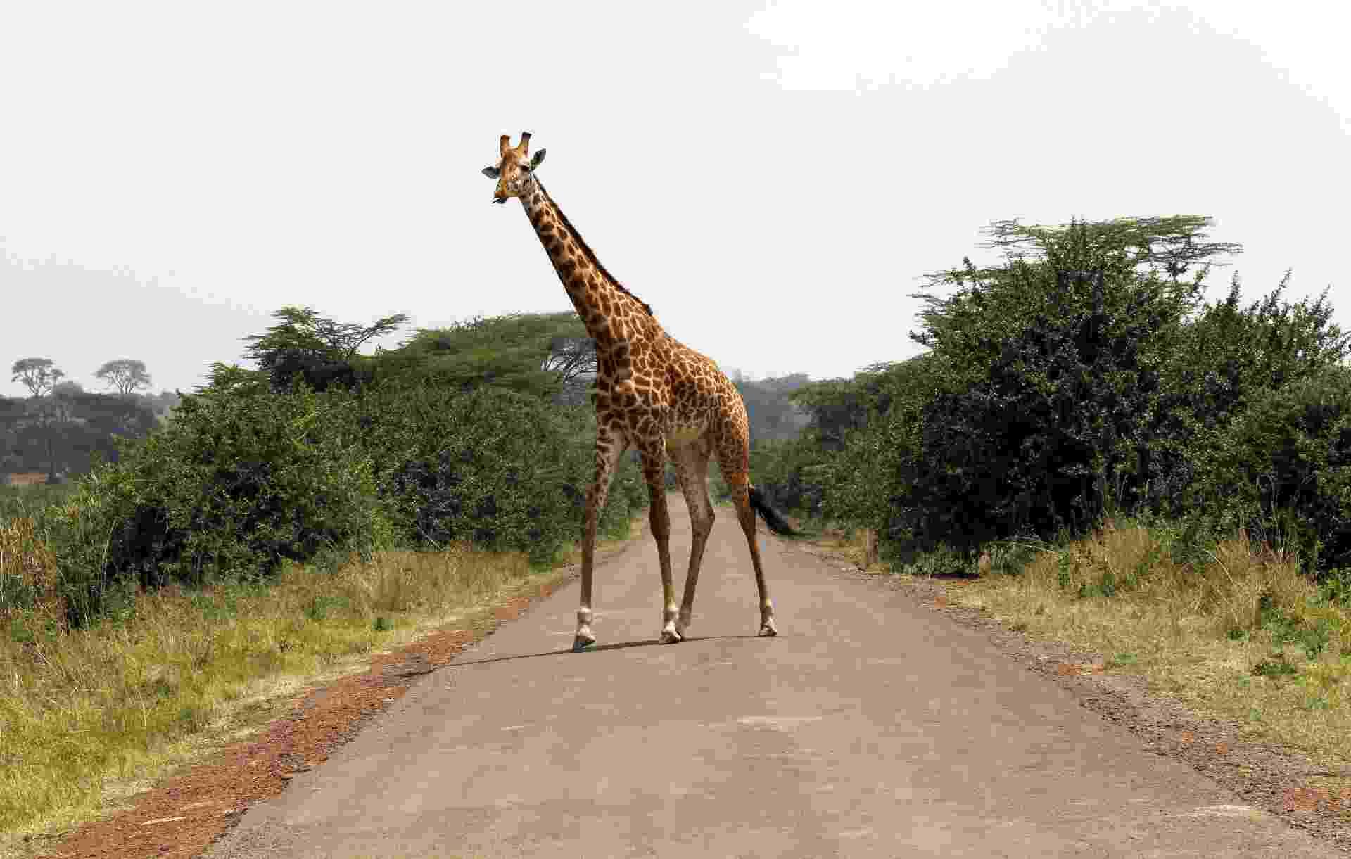 Girafa caminha em estrada pavimentada no Parque Nacional de Nairóbi, no Quênia - Thomas Mukoya/Reuters