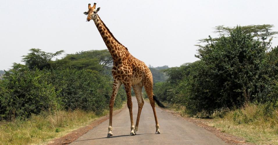 Girafa caminha em estrada pavimentada no Parque Nacional de Nairóbi, no Quênia