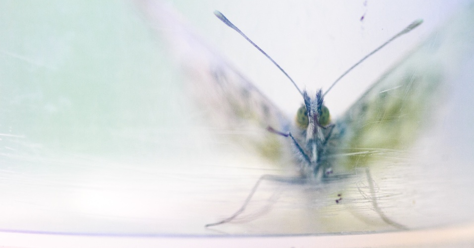 BORBOLETA EM JARRA - Durante uma excursão estudantil, uma borboleta (Anthocharis cardamines) foi colocada em uma jarra de plástico para ser estudada sem sofrer danos