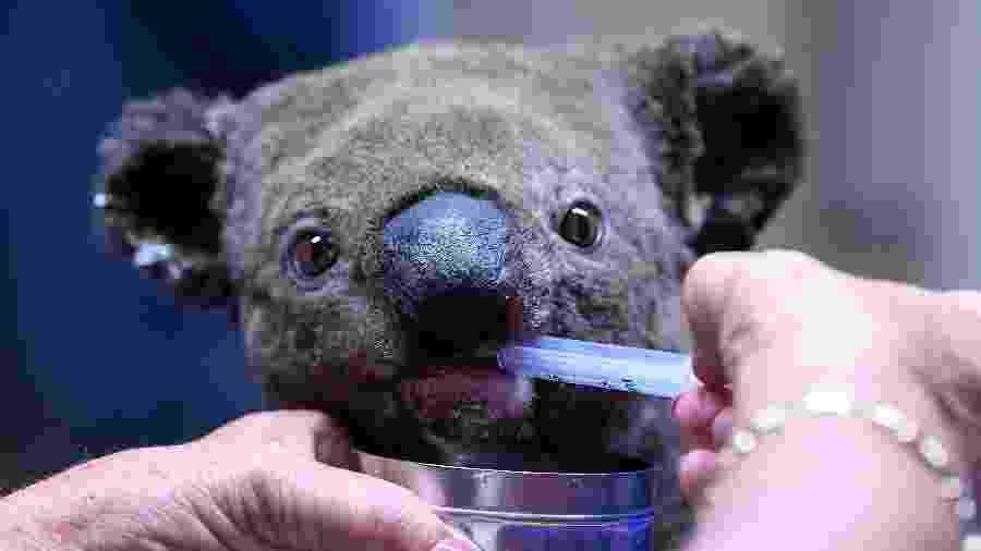 2.nov.2019 - Coala desidratado recebe tratamento em um hospital em Port Macquarie, na Austrália, depois de ser resgatado de um incêndio em uma área de 2.000 hectares - Saeed Khan/AFP