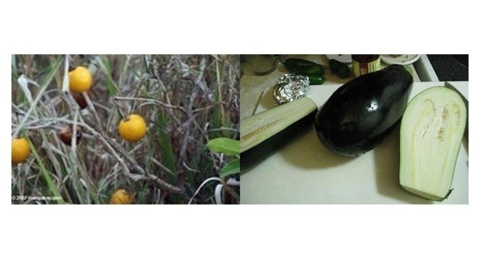 As primeiras berinjelas eram provavelmente como as da imagem da esquerda, feita pelo Genetic Literacy Project. À direita, imagem da berinjela de hoje