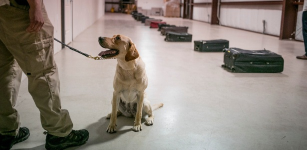 O labrador Gghee, 5, se prepara para farejar uma fila de malas em centro de treinamento de cachorros na Base Aérea de Lackland em San Antonio, no Texas (EUA)