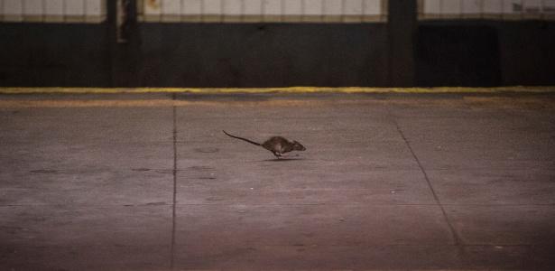 Uma ratazana corre na plataforma de uma estação de metrô, em Manhattan, Nova York