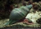 Austrália aposta em caracol-do-mar gigante para tentar salvar Grande Barreira de Coral (Foto: Getty Images)