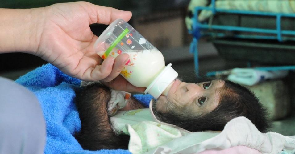 7.jul.2016 - Bebê chimpanzé toma leite de mamadeira no zoológico de Samut Prakarn, província localizada na região central da Tailândia