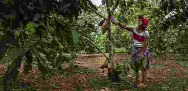 24.jun.2017 - Mary Fanny Ruales com sua plantação de cacau; ela foi uma das primeiras agricultoras a trocar a plantação de cocaína por um cultivo legal - Juan Arredondo/The New York Times - Juan Arredondo/The New York Times