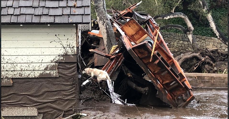 9.jan.2018 - Cão de resgate procura pessoas ilhadas após os deslizamentos de terra em Montecito, na Califórnia