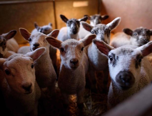 Carneiros em fazenda no sudeste da Inglaterra