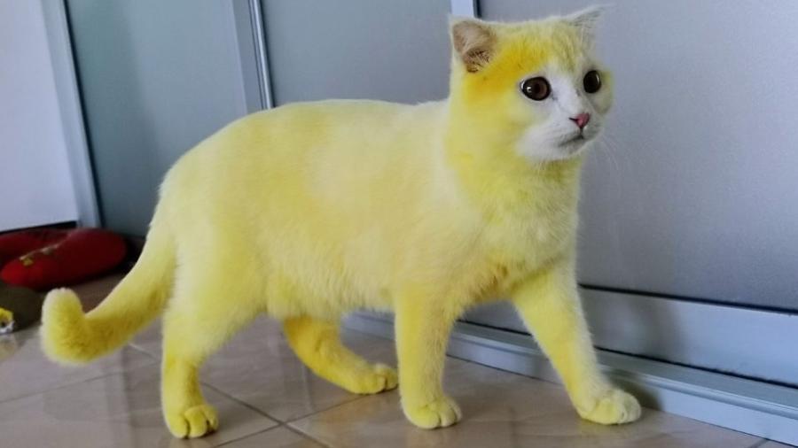 Mulher tailandesa usa açafrão como remédio e tinge gato de amarelo; postagem faz sucesso no Facebook - Reprodução/Facebook