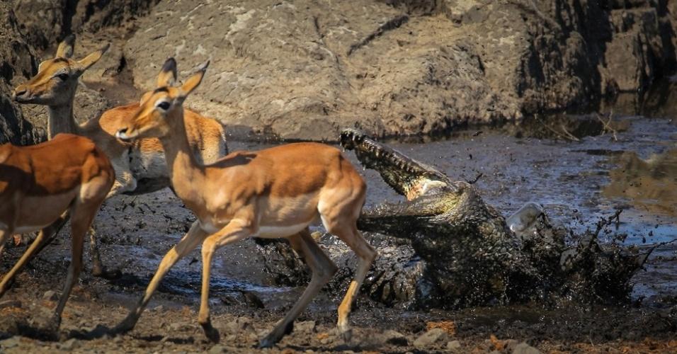 """4.abr.2016 - """"A seca persistente deixa o rio com pouquíssima água, há apenas alguns pequenos lagos para os animais beberem, e a densidade de crocodilos fica enorme"""", explicou Mullineux"""