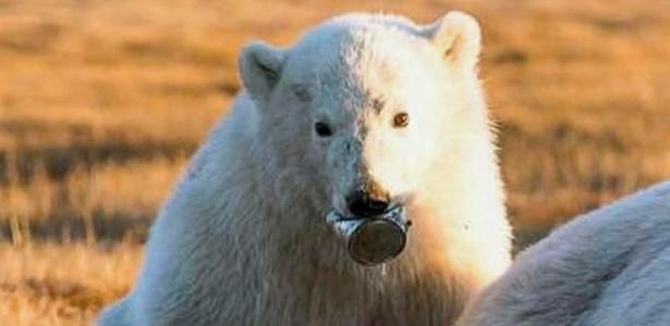 A imagem dramática do filhote de urso-polar, que passou duas semanas sem poder se alimentar porque tinha uma lata de leite condensado presa na língua