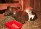 Uóóóón! Cabra grávida ganha companhia e massagem de gatinho (Foto: Facebook/ Operation Fancy Free)