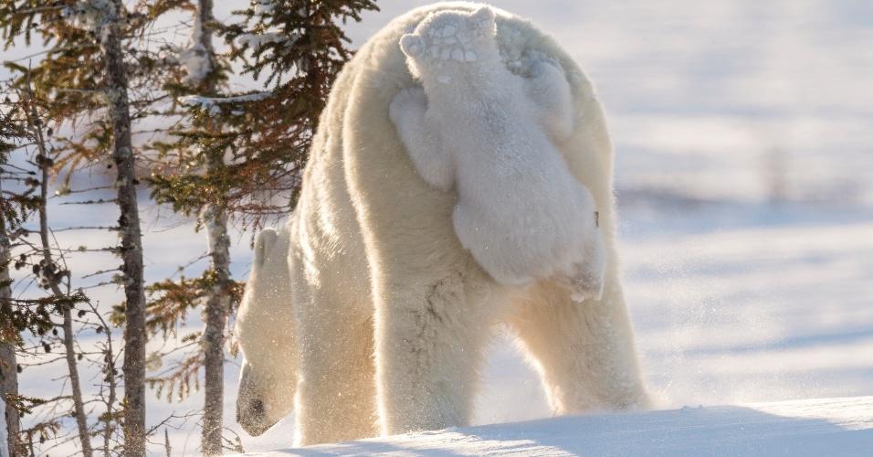 Carona - O ursinho polar pegou uma carona privilegiada na mamãe em Manitoba, Canadá